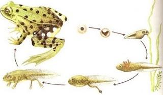 fases en la metamorfosis de la rana