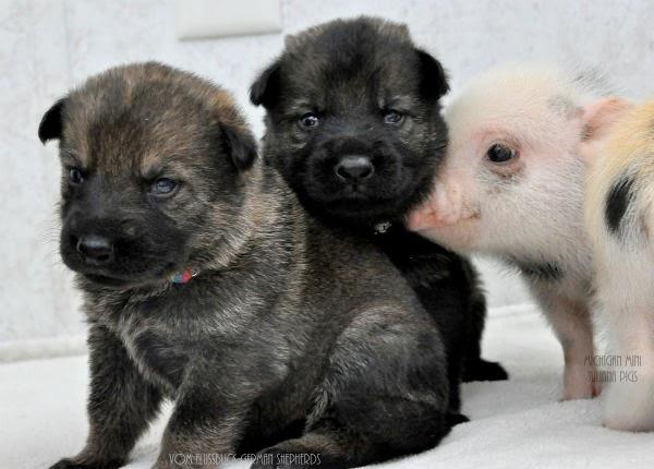 cerditos y cachorros