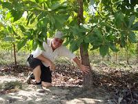 Fast growing Acacia mangium