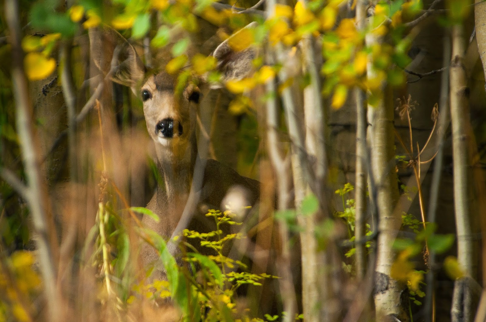 Mule Deer Doe on Gothic Road