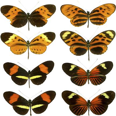 Mimetismo entre borboletas