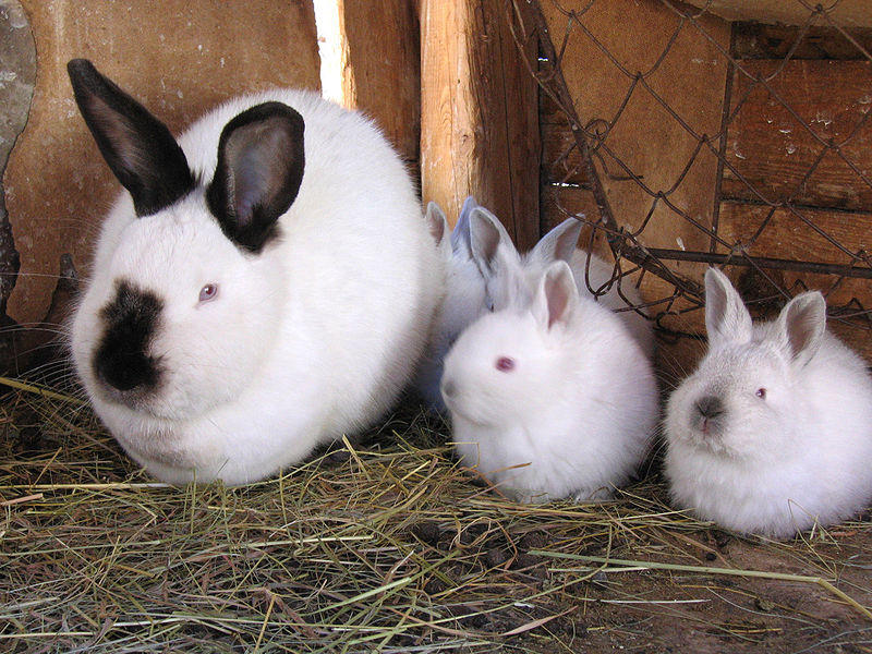 An Introduction to Raising Rabbits for Meat | Proverbs 31 Woman