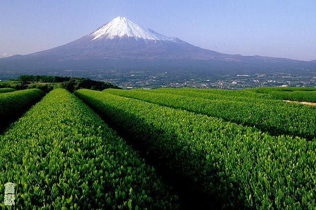 Lindas fotos de plantações de chá verde no pé do Monte Fuji