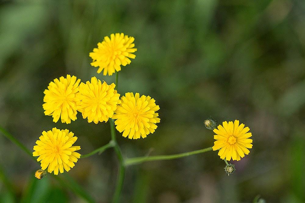 some kind of daisy? - Loughton Valley Park, Milton Keynes