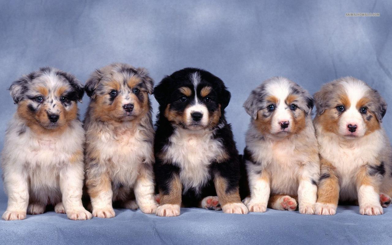 Cute Puppy Dogs: Cute Australian shepherd puppies