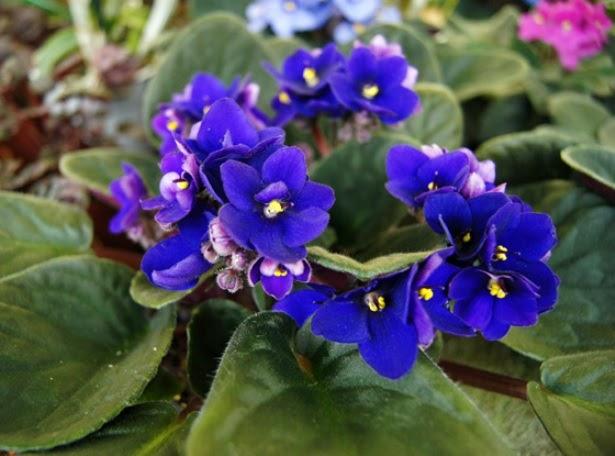 Arte y jardiner a dise o de jardines violeta africana for Diseno de jardines 3d 7 0 keygen