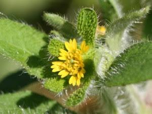 SIEGESBECKIA (S. Orientalis. Hierba Divina)