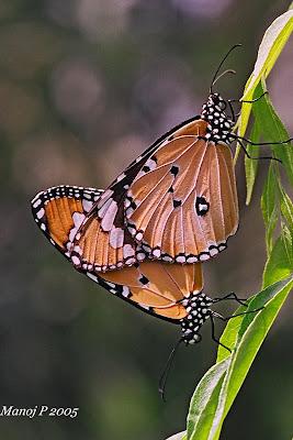 Plain Tiger Butterflies Mating