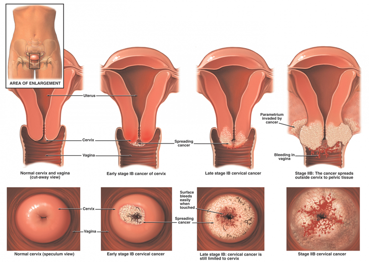 stages development early of vagina