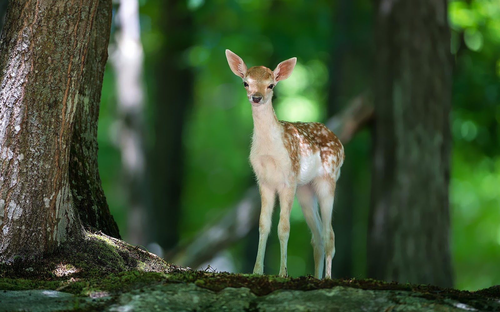 http://2.bp.blogspot.com/-zOFf4fpHuGs/UNWF_zMXRbI/AAAAAAAAJdQ/HwZNj3b2vdM/s1600/hd-animal-wallpaper-of-a-young-deer-in-the-forest-hd-deers-wallpapers.jpg