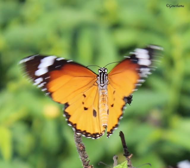 Plain Tiger Butter