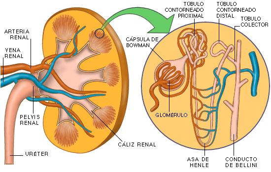El Húmero: Fisiología Renal