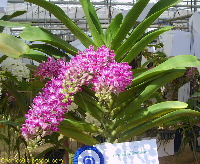 http://2.bp.blogspot.com/-zOXYkSJMgC0/Thf-y39GiHI/AAAAAAAAAnc/nSQrASvzV1w/s1600/Rhynchostylis+gigantea+Red+Orchid+Flower+Picture+01.JPG
