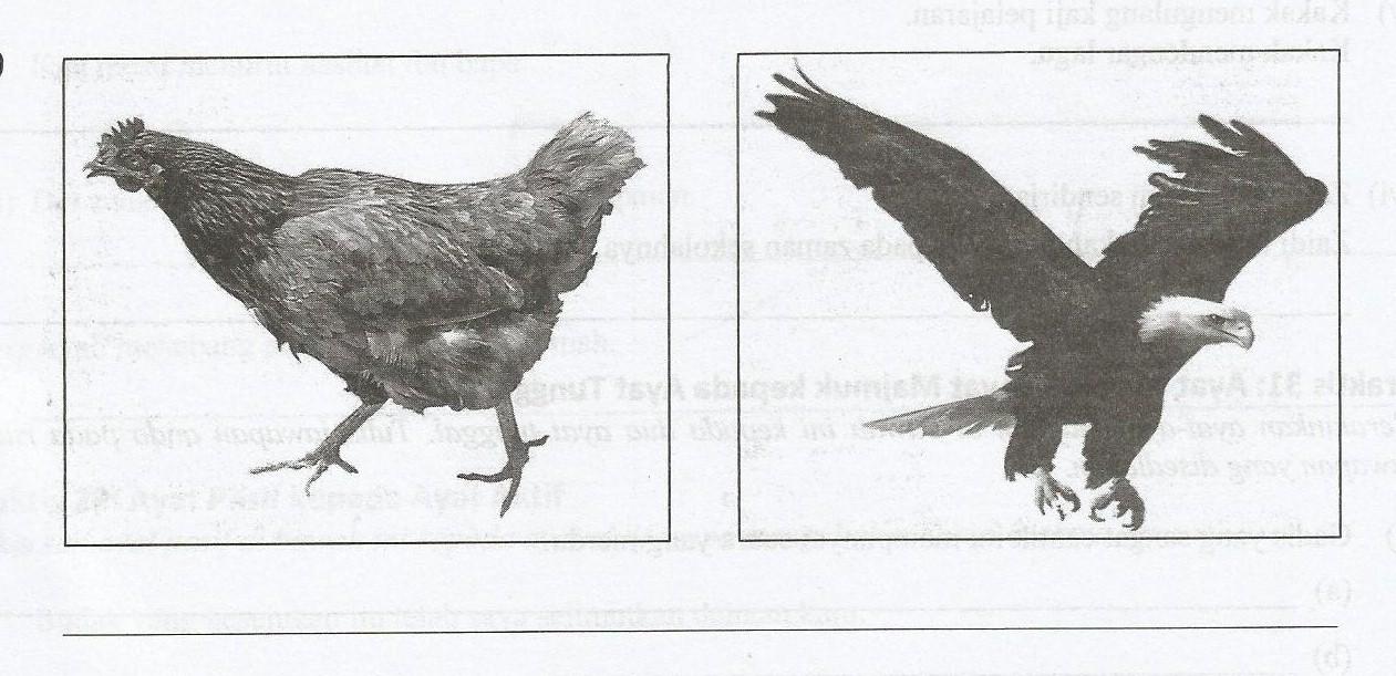 Bagai Ayam Disambar Helang In Chinese