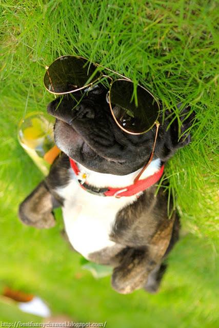 Dog in sunglasses.