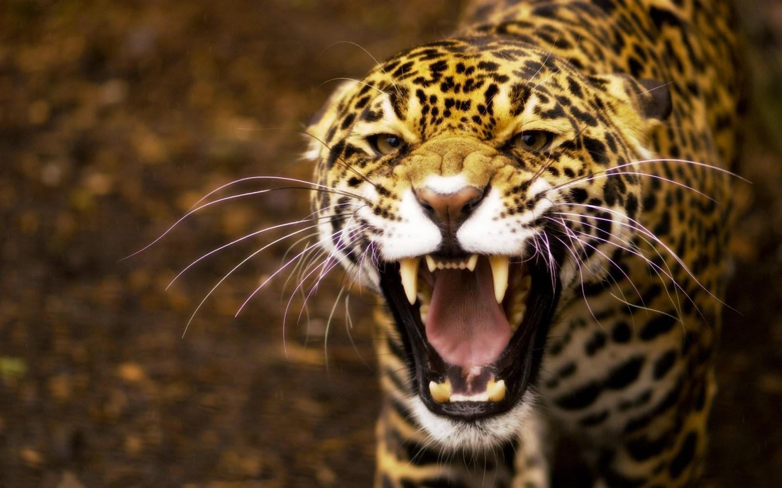 gambar jaguar nama hewan buas dari huruf J