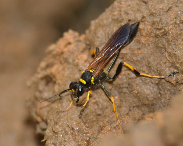 Black-and-yellow Mud Dauber Wasp carrying mud ball