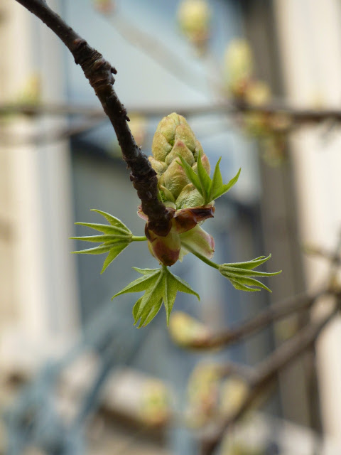 New Sweetgum leaves unfurling in Spring Brooklyn