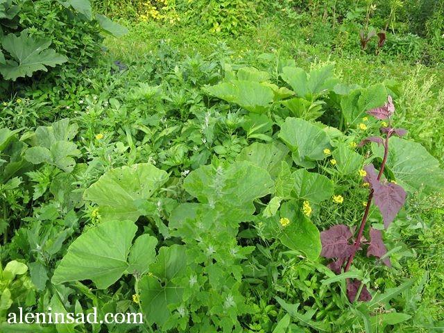 аленин сад, конец июля, без ухода, огород, тыква
