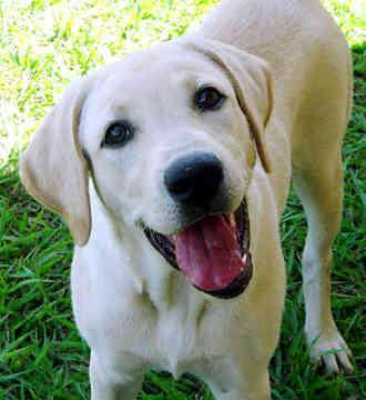 1286373275_126601690_1-dogs-for-sale-in-pakistan-shadbhagh-1286373275