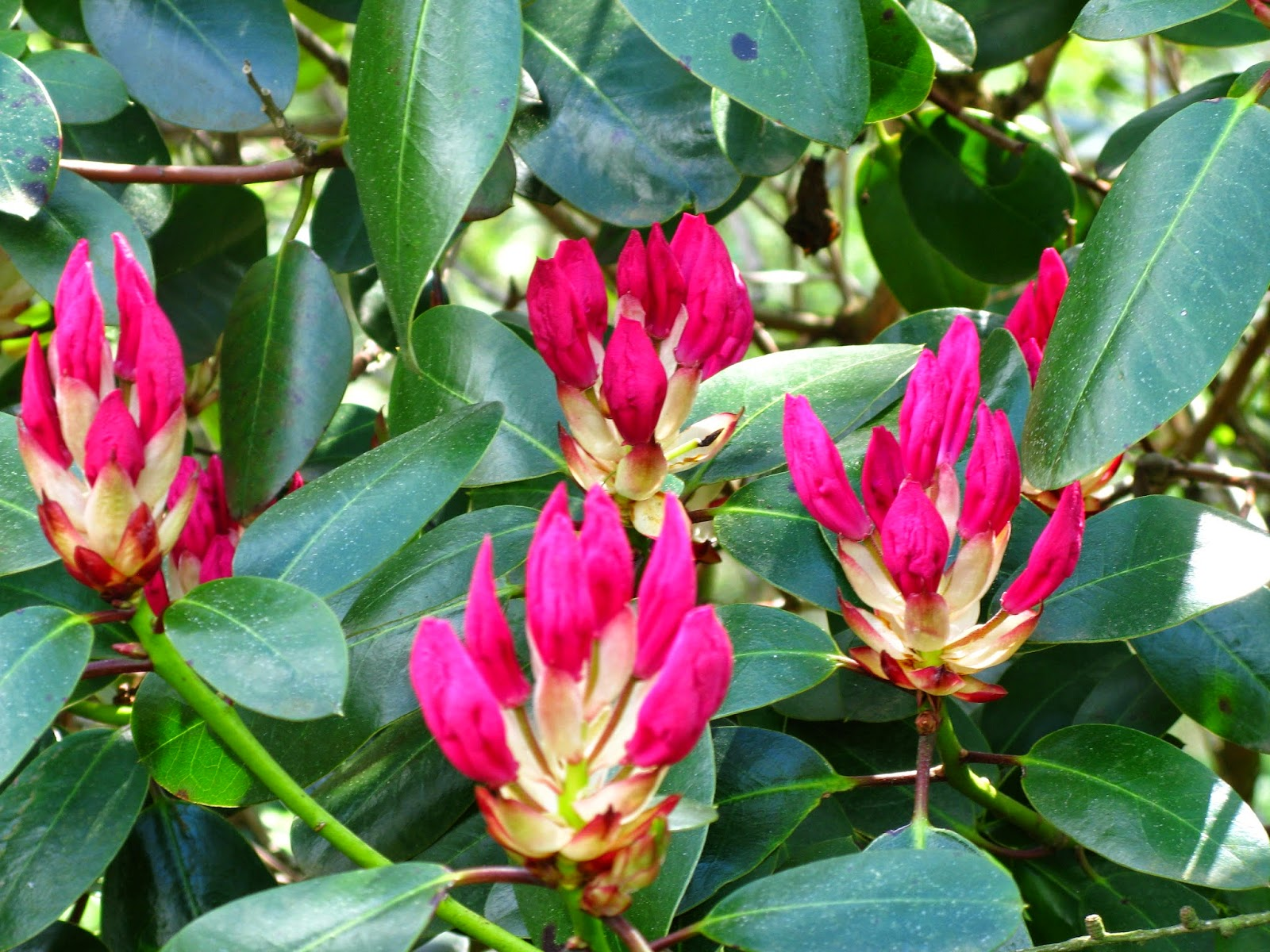 Rododendron - Arboretrum Rogów