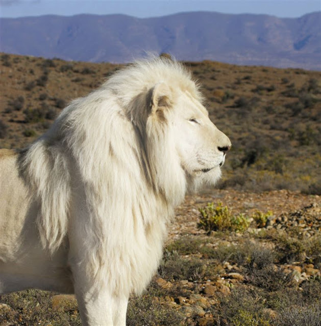 Help stop the use of rare white lions as trophy animals in South Africa