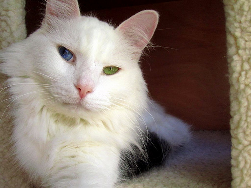 Heterochromia Cat Eye For Sale