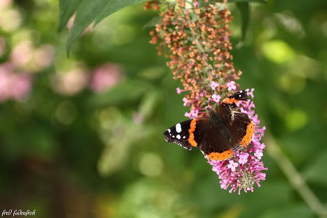 macro hummel flieder schmetterling butterfly