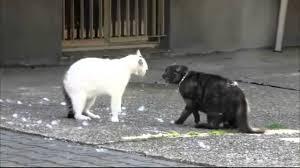 Briga entre dois gatos