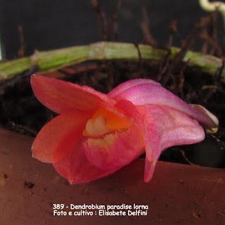 Dendrobium Paradise Lorna  do blogdabeteorquideas