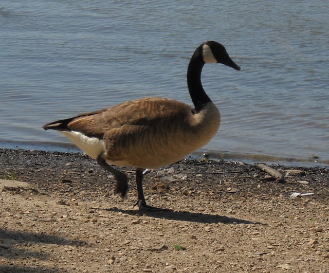 Migrating Canadian Goose at Sunset Bay, White Rock Lake, Dallas, Texas