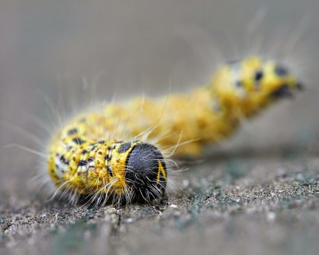 MakroMontag Macrophotography caterpillar