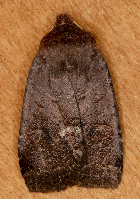 Dark Chestnut, Conistra ligula.   Hayes, 28 November 2015.