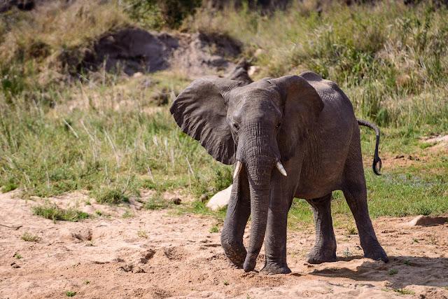 Sabi Sands Elephant