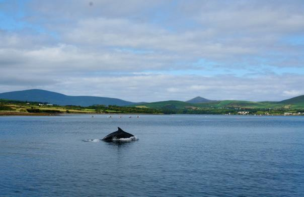 Dingle, Fungi, Dolphin, dingle dolphin, Ireland, Ireland scenery,