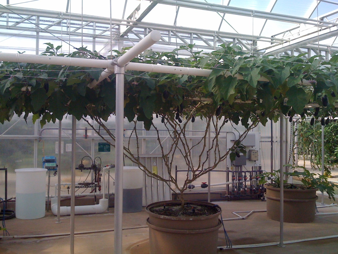 World-Record-Largest-Giant-eggplant-tree-ever-Seeds-of-Life-Tour-Epcot-Disney