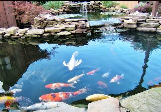 bentuk kolam ikan koi dan ikan hias - air kolam pegunungan
