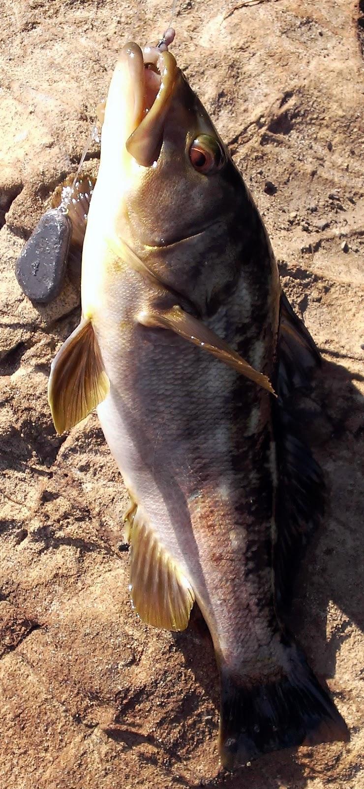 Burger 39 s fishing log surf fishing malibu 08 02 2013 for Calico bass fishing