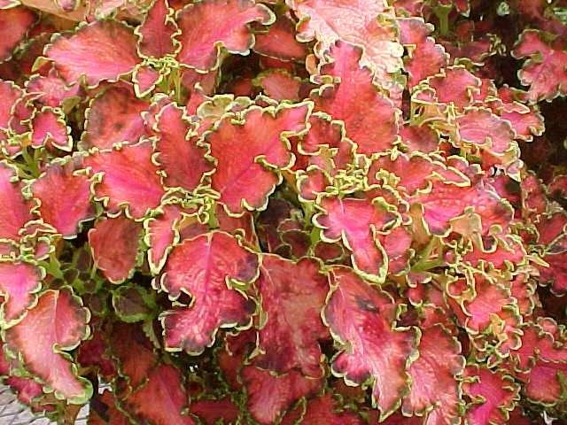 Plante coleus ou solenostemon scutellarioides flore de l for Plante synonyme