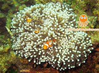 Clown Fish - Taman Laut Pasir Putih Situbondo