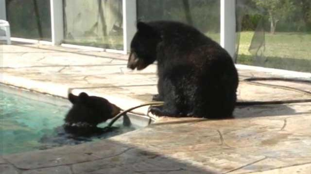 Nothing to do with arbroath family of bears took relaxing dip in