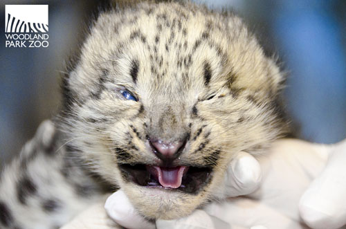 Snow Leopard Cubs Are Born With Their Eyes Closed And Our Little Trio Is Just Starting To Open