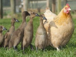 pocongggg.blogspot.com - Keanehan Ayam Beranak Bebek