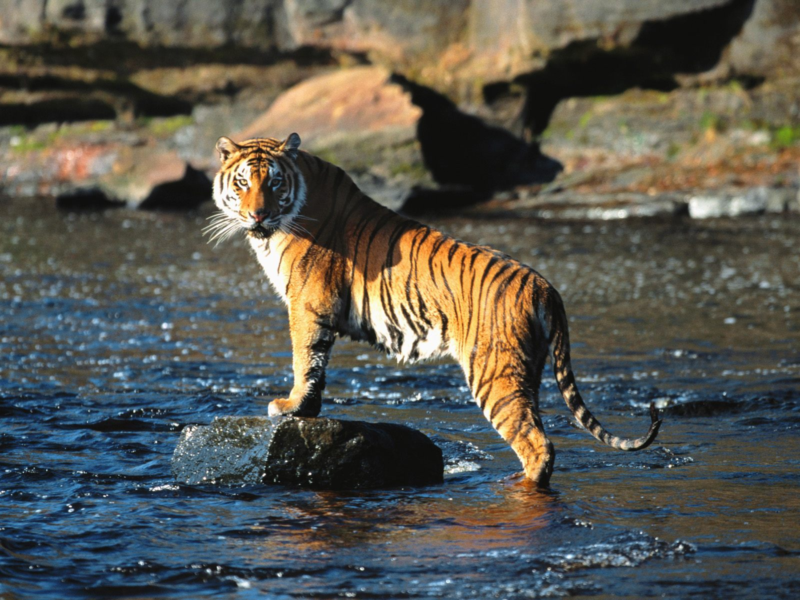 royal bengal tiger Nepal's number of royal bengal tigers in the wild has soared 64 percent to 198  in just four years, according to a government survey released.