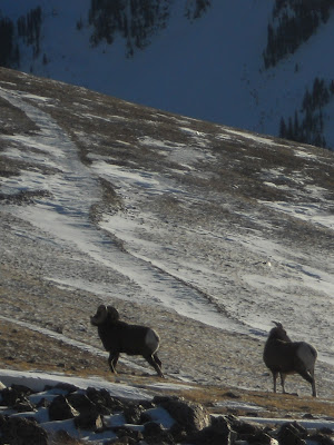 Big horn sheep nm