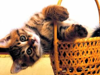 katt leker i korgen
