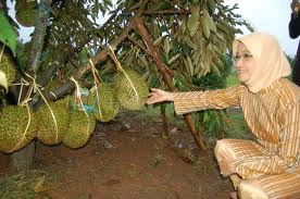 durian montong sudah berbuah banyak, bibitnya hasil sambung pucuk introduksi dari thailand