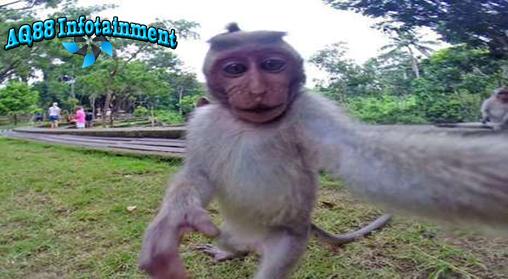 Tingkah polah hewan yang jahil memang menarik untuk disimak. Seekor monyet nakal di Ubud, Bali, merebut kamera GoPro milik pasangan wisatawan yang liburan ke Ubud. Monyet itu lalu selfie tanpa perasaan bersalah. Lucu!