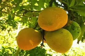 The Mango Is An Important Fruit In Tropical And Sub Regions Of World East Asia Where It Originates Regarded As Kings Fruits