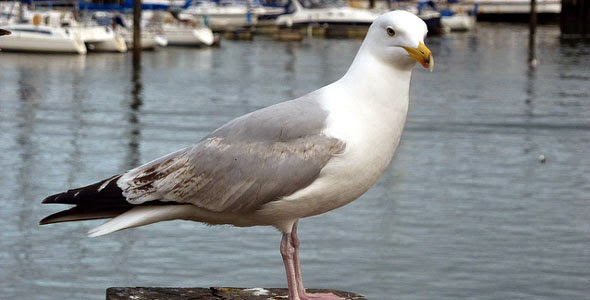 Herring Gull in Scarborough